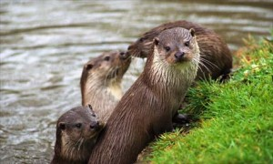 Otters in the River
