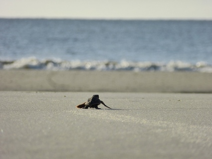 Baby Turtle Goes to Sea