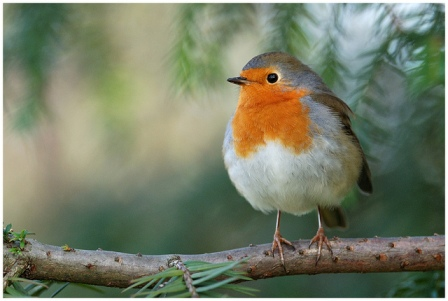 European Robin by Jean-Jacques Boujot